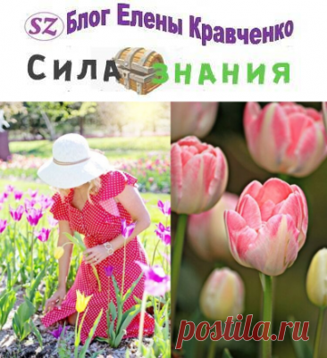 Когда выкапывать тюльпаны после цветения в открытом грунте