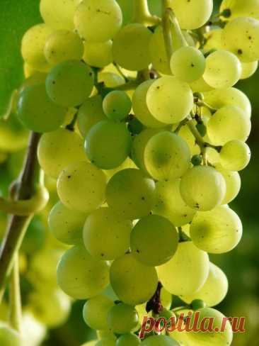 Как правильно обрезать виноградную лозу осенью?