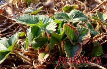 5 очевидных причин, почему клубника отказывается давать урожай