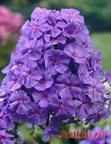 Amethyst Tall Phlox Amethyst Tall Phlox is a sensational garden perennial that really puts on a show of vibrant pure purple blooms in late summer into early autumn. Growing 3-4' tall and 2-3' wide be sure to provide adequate space in your perennial bed, rock garden or...