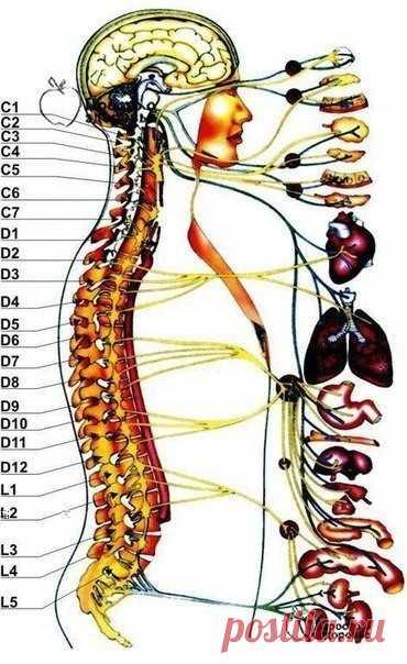 Жалобы при болях отдельных позвоночников и что это означает  Первый шейный позвонок (С 1, атлант): Головные боли, мигрень, ослабление памяти, хроническая усталость, головокружение, артериальная гипертензия, недостаточность мозгового кровообращения.  Второй шейный позвонок (С 2, осевой позвонок) ......читать далее  Воспалительные и застойные явления в придаточных пазухах носа, боли в области глаз, ослабление слуха, боли в ушах.  Третий шейный позвонок (С З)  Лицевые невралг...