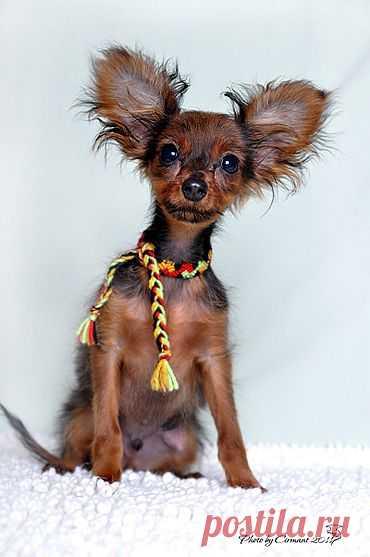 Маленькие породы собак, мелкие породы собак, а так же породы больших=прибольших....