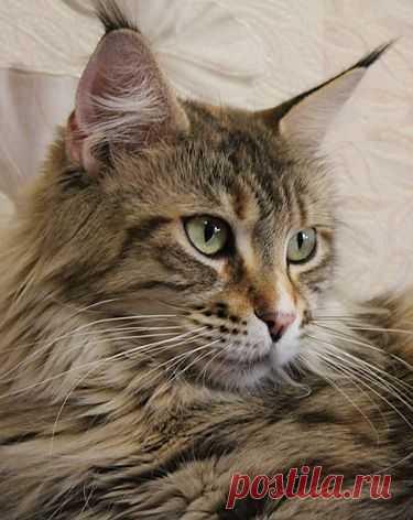 Кошка мейн-кун Gwendoline