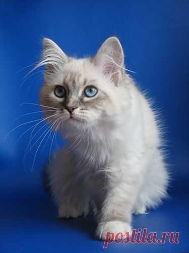 Невская маскарадная кошка Cassandra Formula Uspekha*RUS