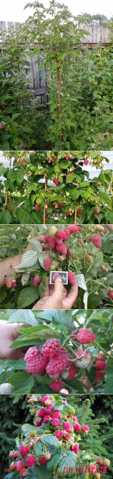 этом уроке малиновое дерево посадка и уход фото размножение бюгельного протеза металлическая