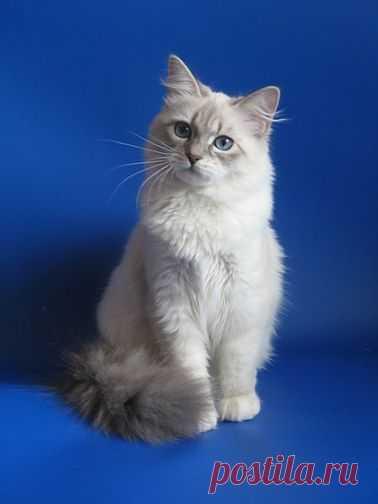 Невская маскарадная кошка необычайной красоты