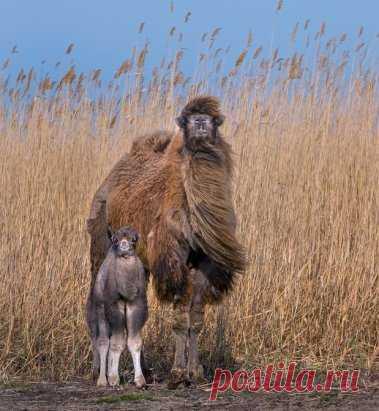 Верблюжонок с мамой