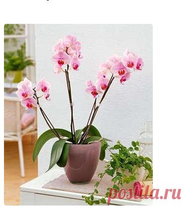 Как ухаживать за комнатной орхидеей фаленопсис, выращиваемой в домашних условиях