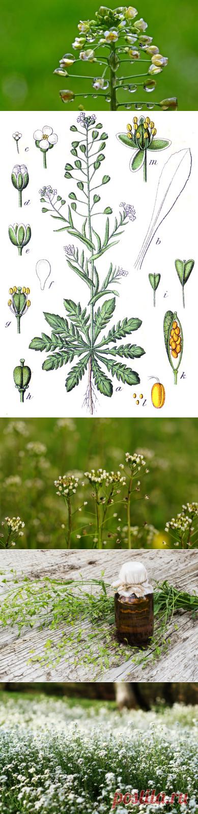 Лекарственные растения. Что находится в пастушьей сумке? | Растения