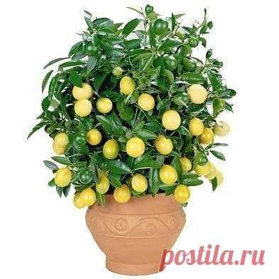 Выращиваем лимонное дерево в чашке