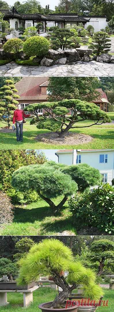 Как самому вырастить садовый бонсай » Все для дачи