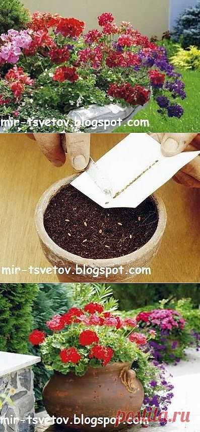 Мир цветов: Герань: размножение семенами