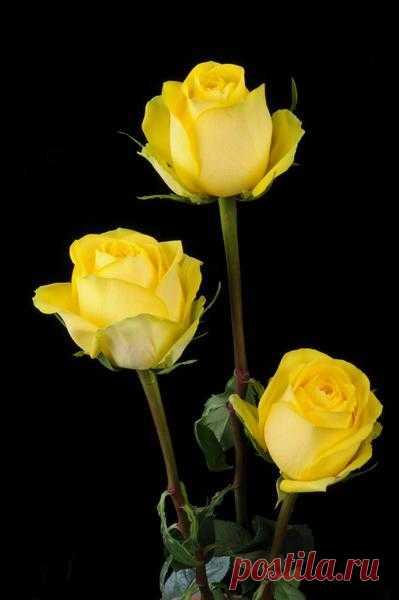 Некоторые рекомендации известного розовода Галины Панкратовой из журнала «Вестник цветовода»