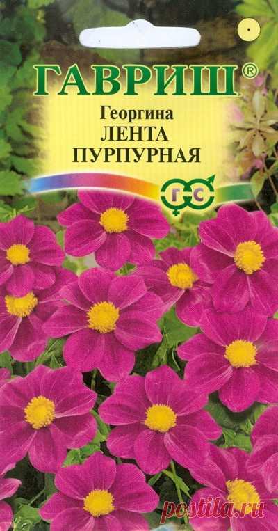 "Георгина ""Лента пурпурная"""