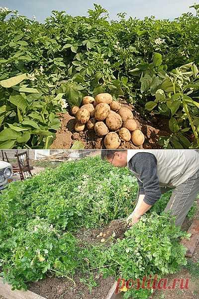 Сажаем картофель клубнями-маточниками.