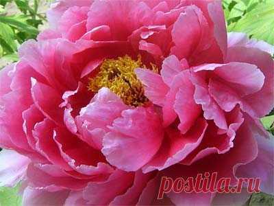 Уход за пионами после цветения в августе