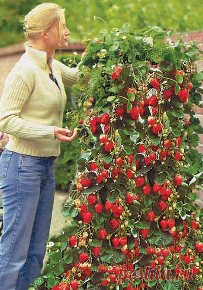 Такая клубника - это не только вкусная ягода, но и украшение вашей дачи.