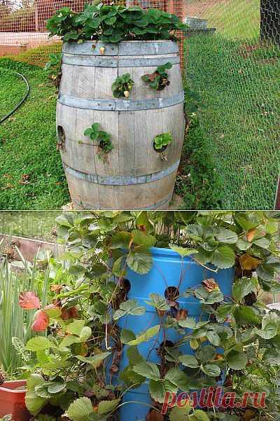 Выращивание клубники в бочке.