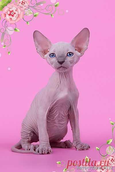 Котёнок сфинкс - маленький талисман.  Продаются котята породы канадский сфинкс. Очень ласковые, игривые и зачаровывающие. С удовольствием сидят на руках и о чем то по-своему разговаривают. У малышей хорошие кровные линии, родители Чемпионы. Котята колоры и колороносители. Приучены к лоточку, адаптированы к самостоятельной жизни. Цена договорная. Котята - разные на любой вкус и финансовые возможности. Готовы для выезда в любую страну и для межд. плем. работы, доставка по России и за рубеж.