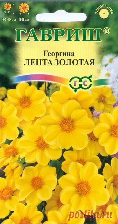 "Георгина ""Лента золотая"""