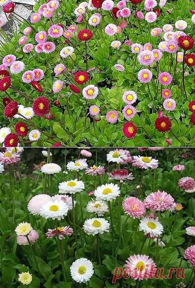 Маргаритка в саду и дома. Особенности выращивания.