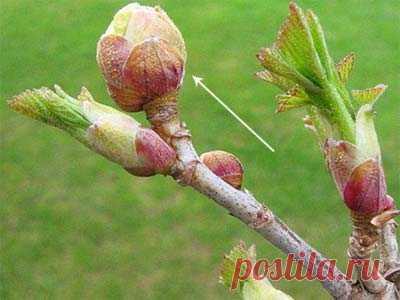 Смородиновый почковый клещ: меры борьбы весной