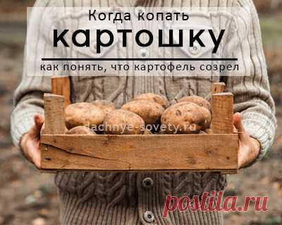 Когда копать картошку и как понять, что картофель созрел Копать картошку нужно вовремя. Но одни выкапывают ее в августе, другие - в сентябре.. Кто прав, как определить, что картофель созрел и когда