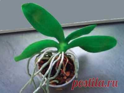 Когда пересаживать орхидею, простые советы