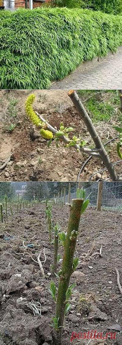 Быстрорастущая живая изгородь из черенков