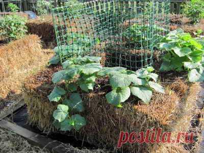 Выращивание огурцов на соломенной грядке