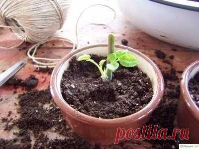 Kaк вырастить poзу из сpeзанного цвeтка