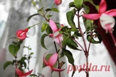 Как пересадить фуксию: каким образом сделать это грамотно, а также обрезка осенью, правильный уход, размножение цветущего растения в домашних условиях