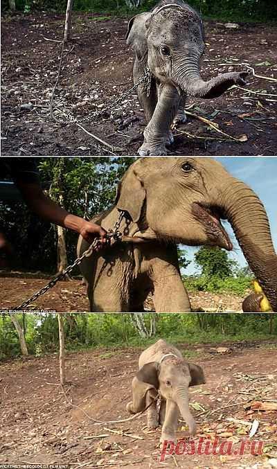 Жители Индонезии взяли в заложники слоненка