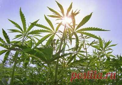 Конопли лечебные рецепты где купить марихуану в польше