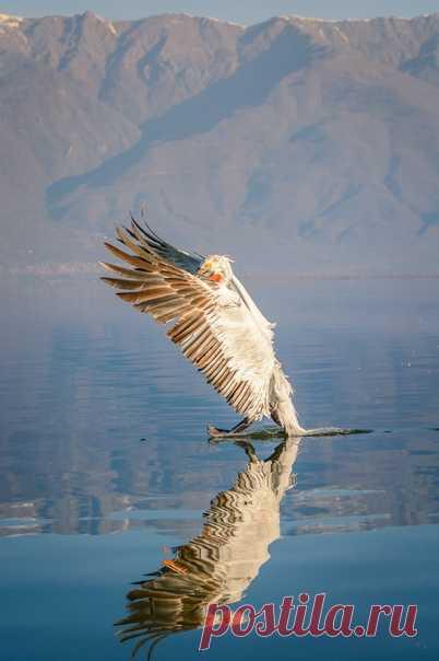 Пасодобль в исполнении кудрявого пеликана на греческом озере Керкини. Снимал Evgeni Fabisuk: nat-geo.ru/community/user/192795/