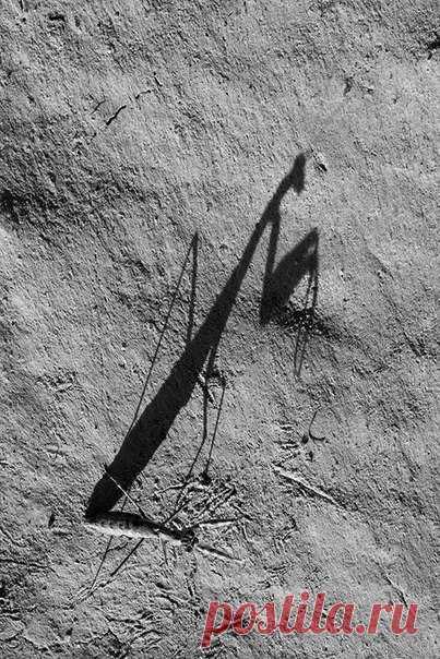 «Короткокрылая боливария – богомол, обитающий на юге России. Во второй половине дня боливарии часто выходят на грунтовые дороги или лишенные растительности солонцы», – рассказывает автор фото Станислав Шинкаренко: nat-geo.ru/photo/user/16509/