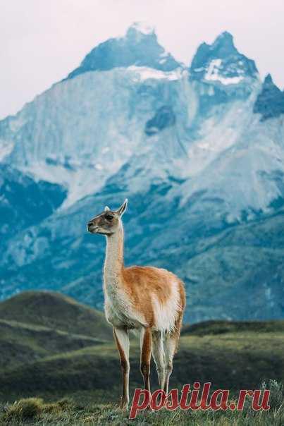 «Супермодель» «На холмах вокруг Торрес-Дель-Пайне в Патагонии встречаются гуанако. Обычно они пугливые, но некоторые подпускают к себе поближе», – рассказывает фотограф Александр Бердичевский: nat-geo.ru/photo/user/115819/