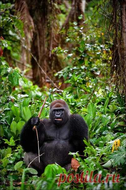 Западная равнинная горилла. Камерун, Африка. Автор фото – Сергей Урядников: nat-geo.ru/photo/user/18367/