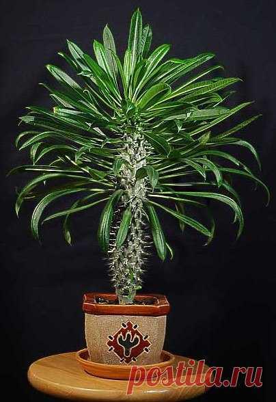 Пахиподиум. Уход и разведение пахиподиума Пахиподиум – необычное, экзотично красиво растение, тем не менее, нечасто встречается в наших квартирах. А все потому, что его у нас почти не выращивают, а привозят уже готовые цветы. А родиной этого …