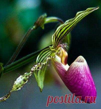 """Постеры цветы / Орхидеи — """"Орхидея """"""""Женские туфельки"""""""""""""""