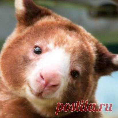 Древесный кенгуру Валлаби.