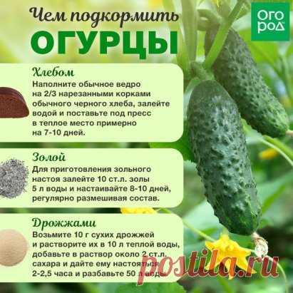 ЧЕМ ПОДКОРМИТЬ ОГУРЦЫ ДЛЯ ХОРОШЕГО РОСТА  http://ogorod.ru/34297a