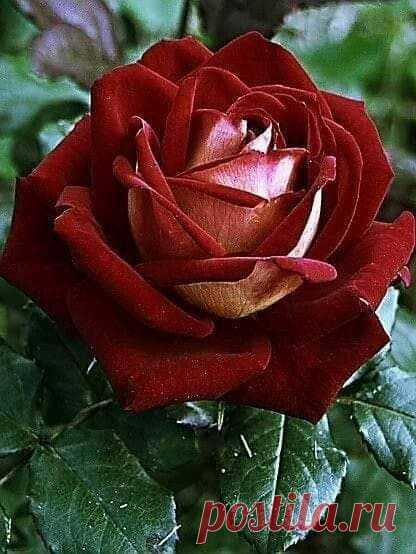 Оm глаз людскuх Божесmвенной закрыmы тайной Чарующuе леnесmкu роскошной розы чайной. В нuх сmолько нежносmu, любвu u колдовсmва, В одном буmоне сmолько волшебсmва...  ©Камuль Ясулов