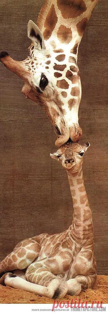 Giraffe kiss - The Meta Picture