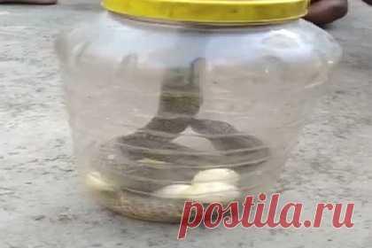 Кобра выплюнула шесть яиц на глазах у змеелова. Кобра в Индии заползла в частный дом. Хозяева заметили рептилию, которая пряталась между досок, и вызвали змеелова. Прибывший на место специалист изловил рептилию и поместил ее в пластиковый контейнер. В этот момент кобра выплюнула шесть проглоченных ранее яиц. Змею эвакуировали на безопасное расстояние и выпустили.