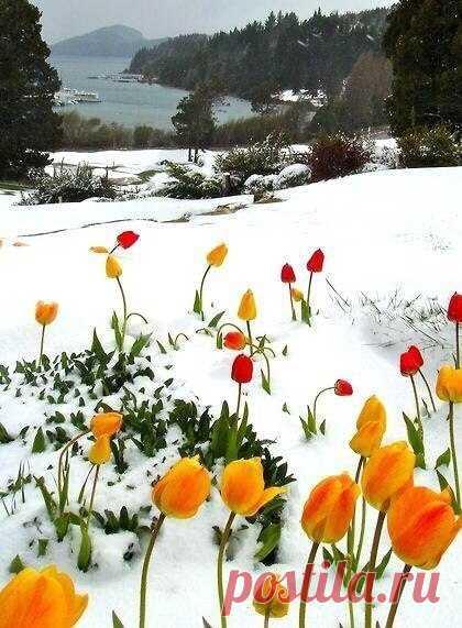 🌷❄🌷❄🌷 Тюльпаны прячутся под снегом, От чувств нахлынувшей тоски, Желанью счастья вопреки, Укрывшись мягким, белым пледом. В плену надежд своих играя, Цветам расскажет ветерок, Как бурной радости поток Приблизит к нам дыханье мая! Расстает в сердце лёд случайный... Весенний луч, в стихах воспет, Подарит радостный рассвет: Земной, таинственный, венчальный! (с)