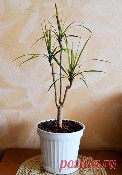 Как обновить драцену?   Драцены – очень красивые растения, однако со временем они теряют свою декоративность: вырастают высокими и начинают искривляться.  Но это очень легко исправить.   У взрослого растения стволы очень длинные и тонкие, поэтому они перестают удерживать верхушки-