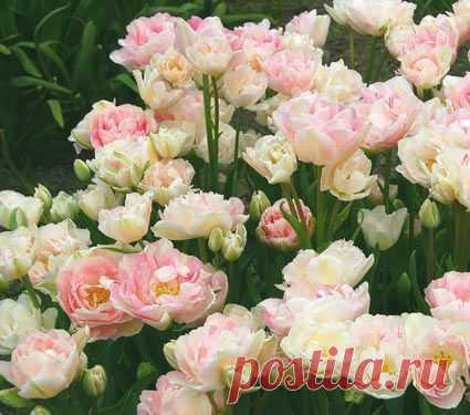 Customer favorite tulips white flower farm these customer favorite customer favorite tulips white flower farm these customer favorite tulip varieties have earned top mightylinksfo