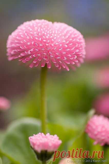 Pomponette English Daisy | Flickr - Photo Sharing!