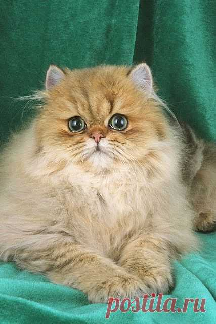 Health Problems in Persian Cats | Annie Many